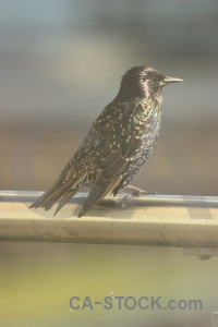 Animal starling bird.