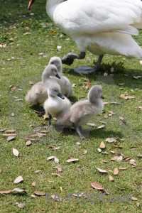 Animal swan aquatic bird chick.