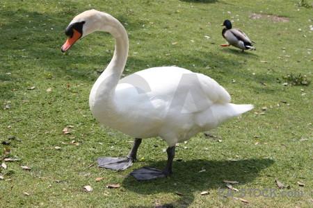 Animal swan aquatic green bird.