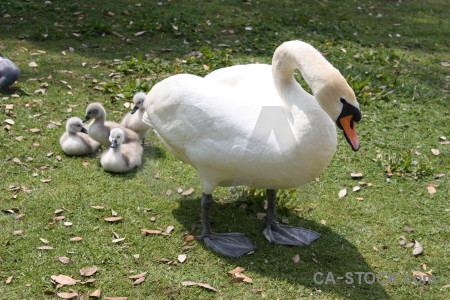 Animal swan chick aquatic bird.