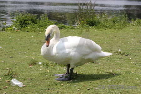 Animal swan green aquatic bird.