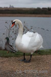 Animal swan water bird pond.