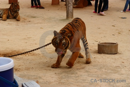 Animal thailand tiger wat pha luang ta bua cat.
