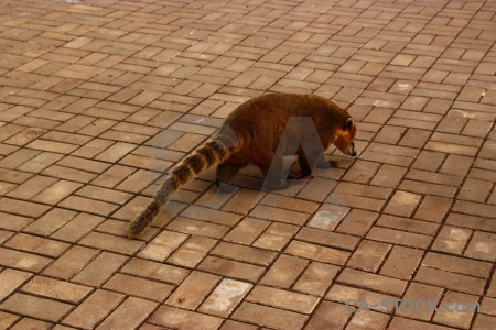 Animal unesco coatis iguacu falls tile.