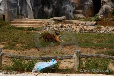 Animal wat pa luangta maha bua yannasampanno tiger southeast asia temple.