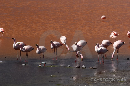 Animal water andes altitude lake.