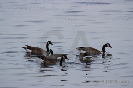 Animal water aquatic pond bird.