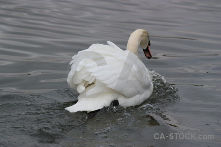 Animal water pond aquatic swan.
