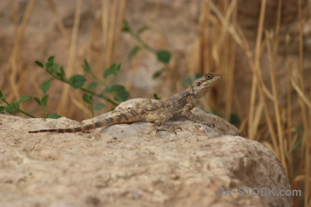 Animal western asia rock branch reptile.