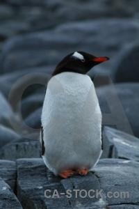 Animal wiencke island antarctica cruise rock south pole.