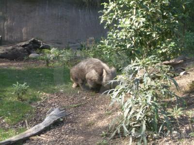 Animal wombat green.