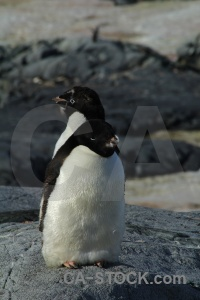 Antarctic peninsula adelie animal antarctica cruise south pole.