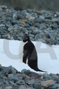 Antarctic peninsula adelie marguerite bay antarctica stone.