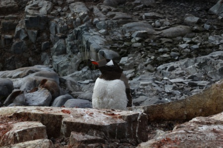 Antarctic peninsula animal antarctica petermann island chick.