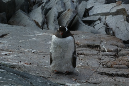 Antarctic peninsula animal chick petermann island south pole.