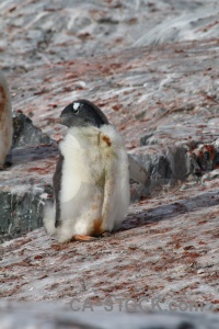 Antarctic peninsula animal penguin antarctica gentoo.