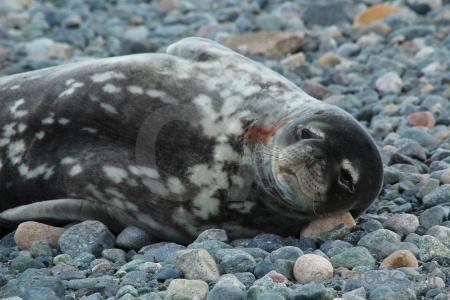 Antarctic peninsula animal stone marguerite bay bellingshausen sea.