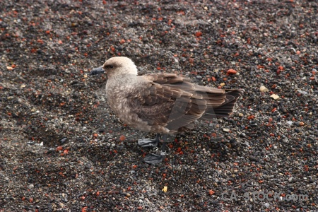Antarctic peninsula antarctica cruise brown skua south pole shetland islands.