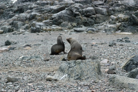 Antarctic peninsula antarctica cruise fur seal marguerite bay stone.