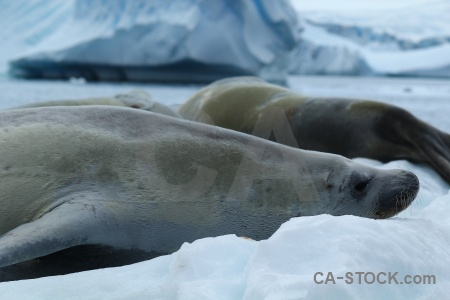 Antarctic peninsula antarctica cruise south pole bellingshausen sea seal.