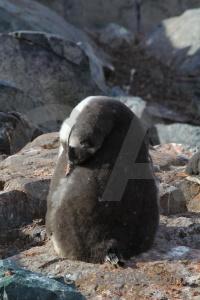 Antarctic peninsula antarctica gentoo animal cruise.