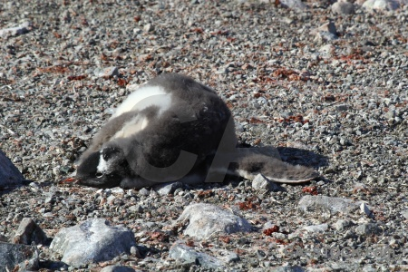 Antarctic peninsula antarctica wilhelm archipelago gentoo day 8.