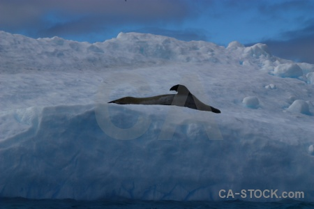 Antarctic peninsula argentine islands leopard seal cloud water.