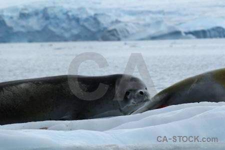 Antarctic peninsula bellingshausen sea south pole antarctica cruise crabeater.