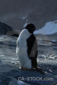 Antarctic peninsula day 8 wilhelm archipelago penguin adelie.
