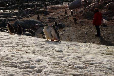 Antarctic peninsula ice animal day 8 antarctica cruise.