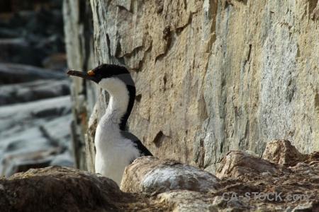 Antarctic peninsula shag day 8 wilhelm archipelago antarctica cruise.