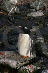 Antarctic peninsula south pole gentoo petermann island rock.