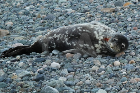 Antarctic peninsula south pole seal millerand island marguerite bay.