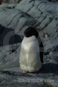 Antarctica antarctic peninsula adelie cruise wilhelm archipelago.