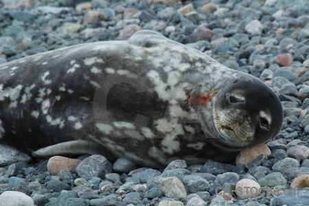 Antarctica antarctic peninsula day 5 seal animal.