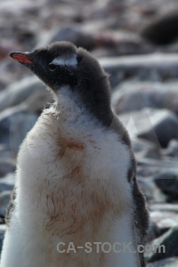 Antarctica cruise animal south pole gentoo chick.