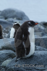 Antarctica cruise antarctic peninsula animal wiencke island dorian bay.