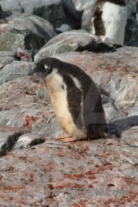 Antarctica cruise antarctic peninsula penguin chick rock.