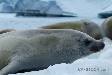 Antarctica cruise bellingshausen sea south pole animal seal.