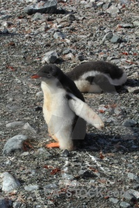 Antarctica cruise chick penguin wilhelm archipelago south pole.