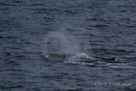 Antarctica cruise drake passage water animal whale.