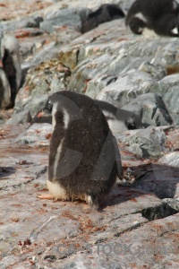 Antarctica cruise gentoo day 8 feces.