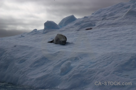Antarctica cruise leopard seal animal antarctic peninsula south pole.