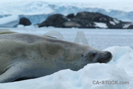 Antarctica cruise marguerite bay iceberg bellingshausen sea crabeater.