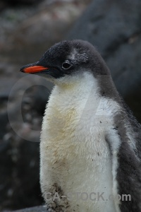 Antarctica cruise palmer archipelago penguin antarctic peninsula neumayer channel.