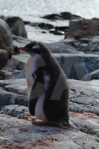 Antarctica cruise penguin chick antarctic peninsula feces.