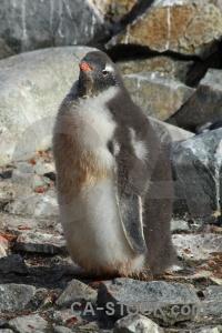 Antarctica cruise petermann island animal gentoo penguin.