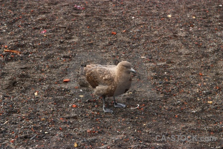 Antarctica cruise sand bird brown skua south shetland islands.