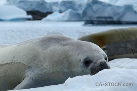 Antarctica cruise sea crabeater seal antarctica.