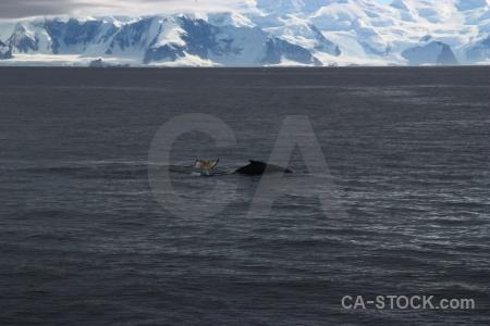 Antarctica cruise whale antarctic peninsula sea water.